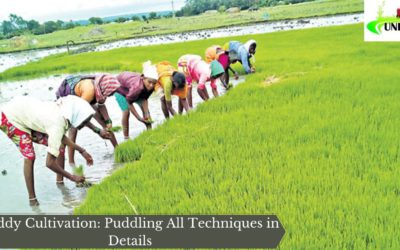 Paddy Cultivation: Puddling All Techniques in Details